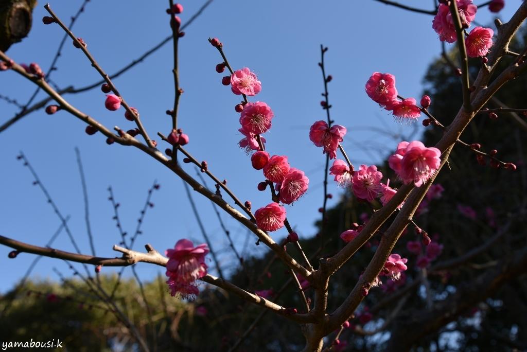 花畑園芸公園の梅の花5