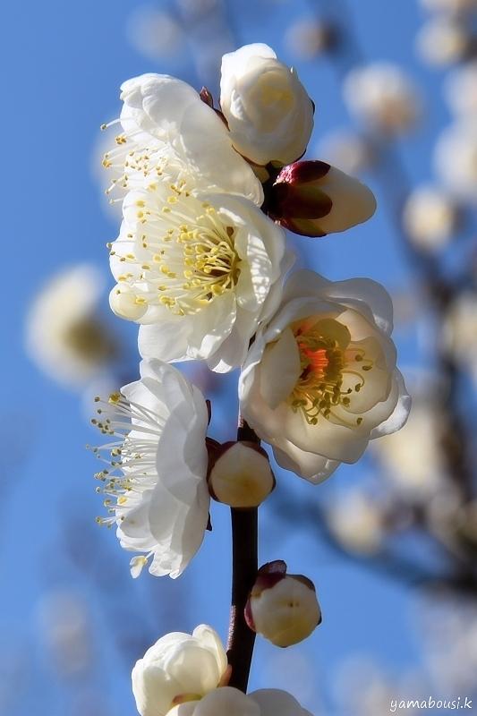 早春に咲く梅の花5