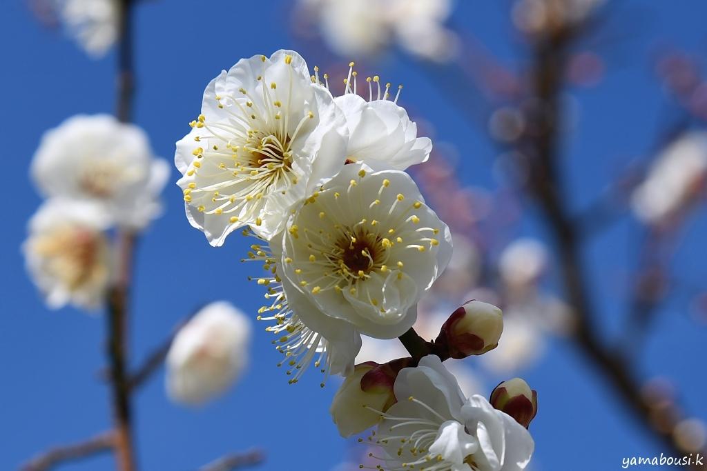 花畑園芸公園の梅の花4