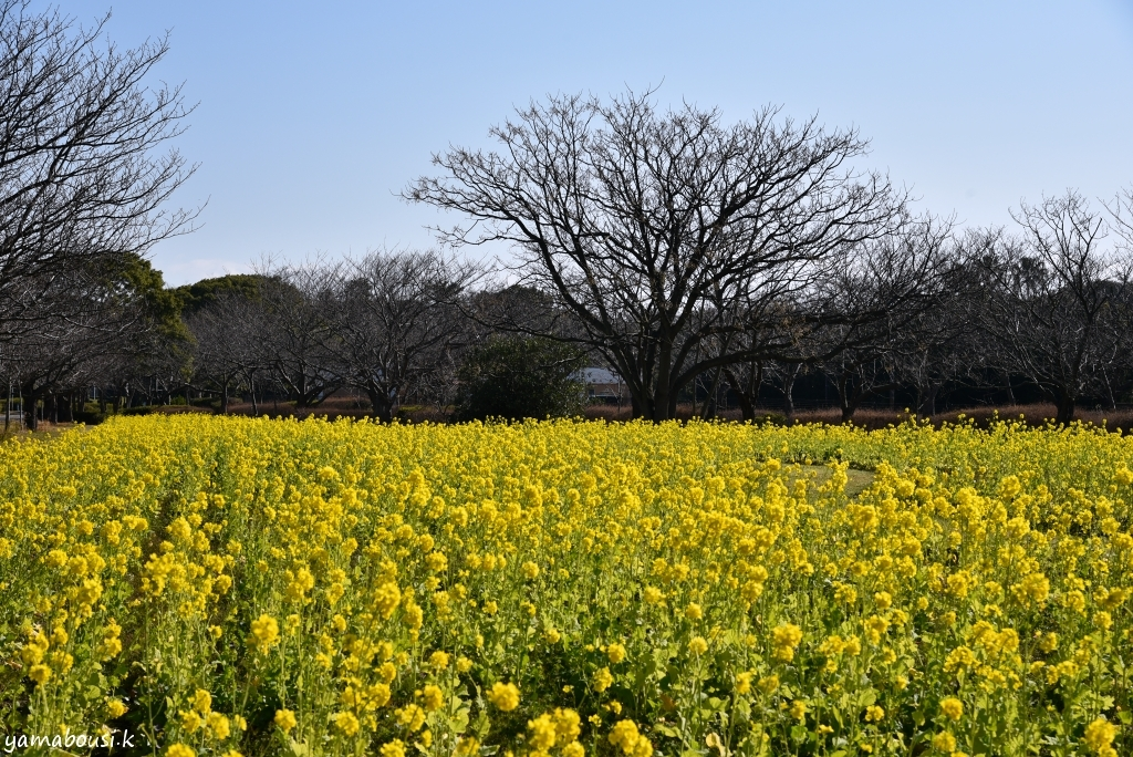 海の中道海浜公園 菜の花1