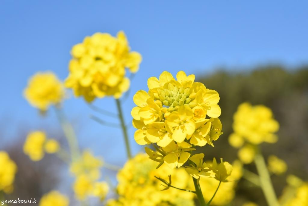 海の中道海浜公園 菜の花8