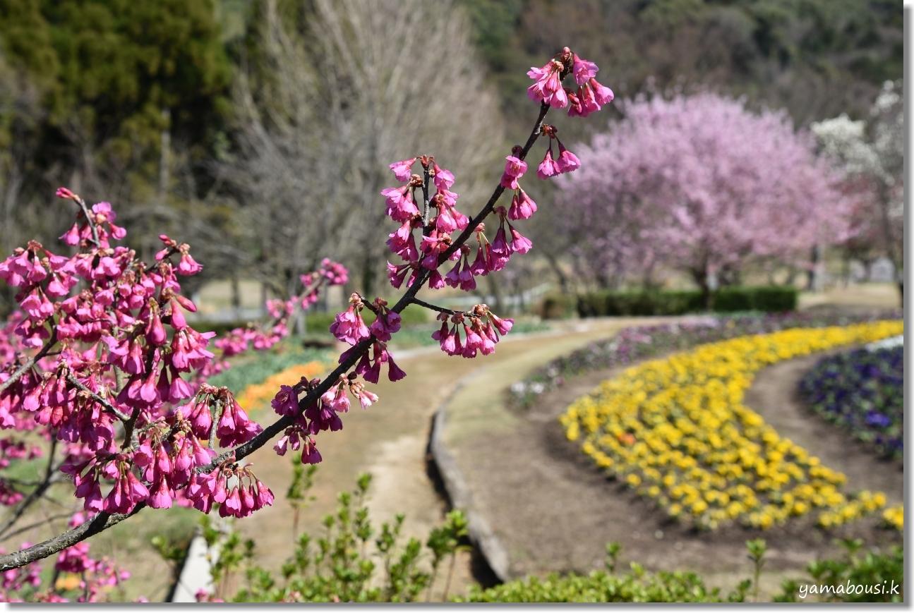ツバキカンザクラ(椿寒桜)