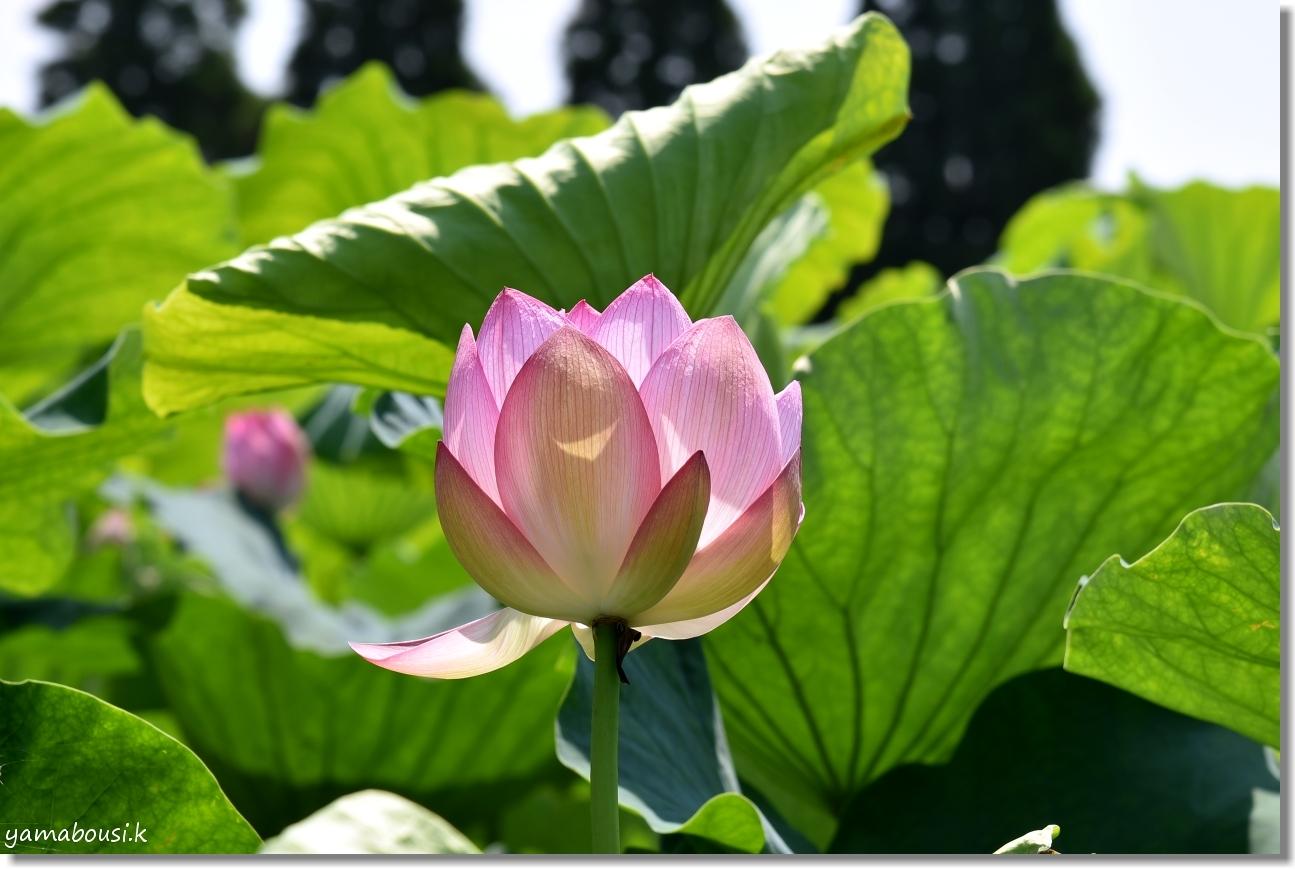 千栗土居公園の蓮の花 3