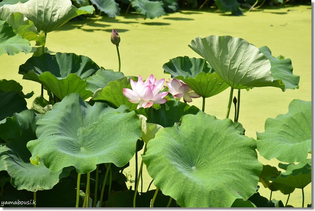 千栗土居公園の蓮の花 6