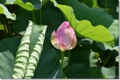 千栗土居公園の蓮の花 5
