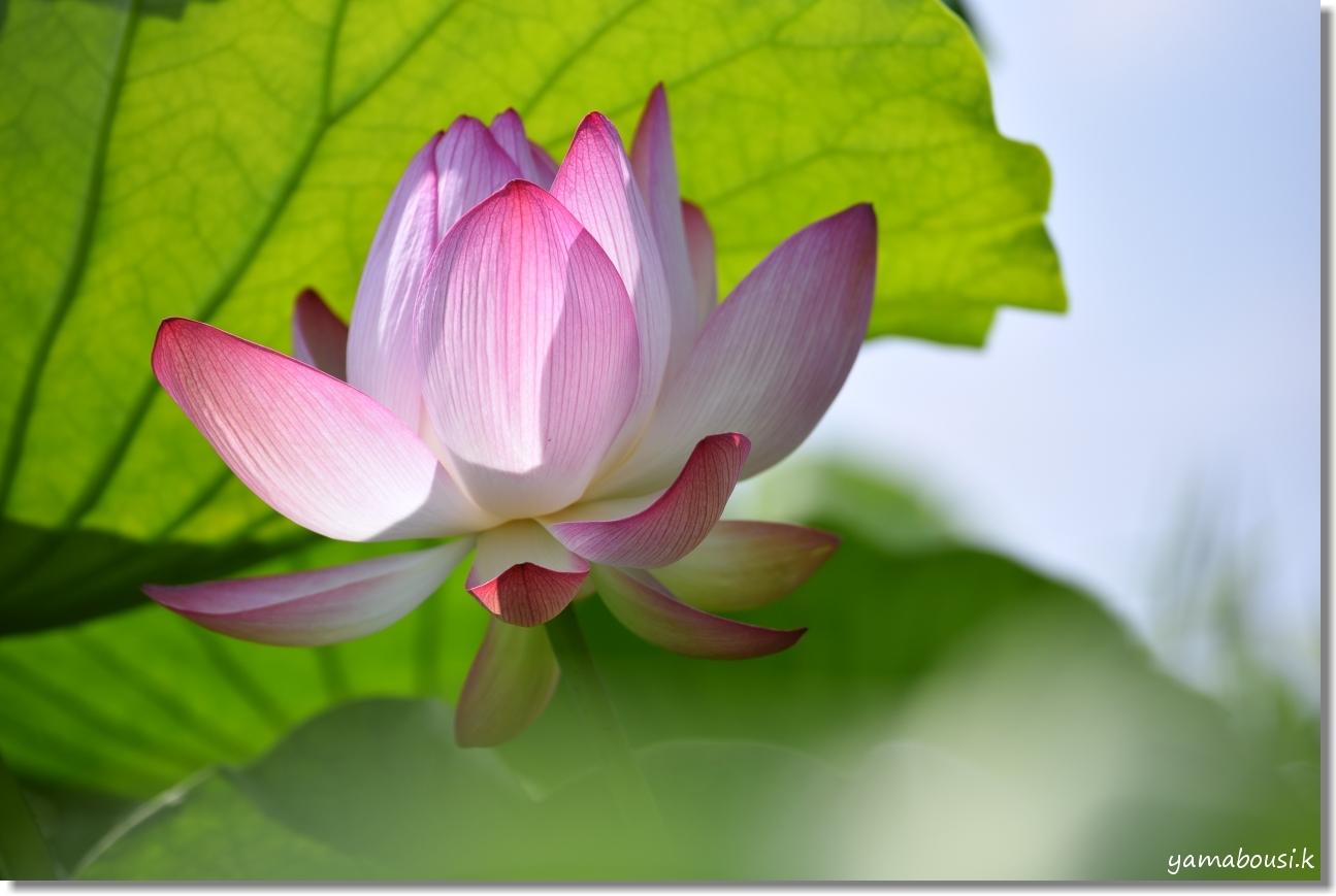 千栗土居公園の蓮の花 4