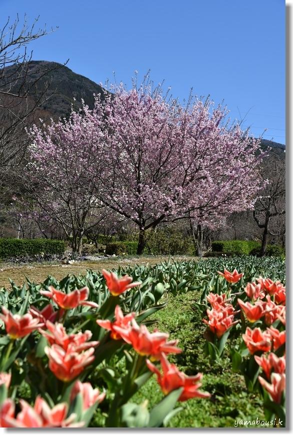ツバキカンザクラ (椿寒桜)