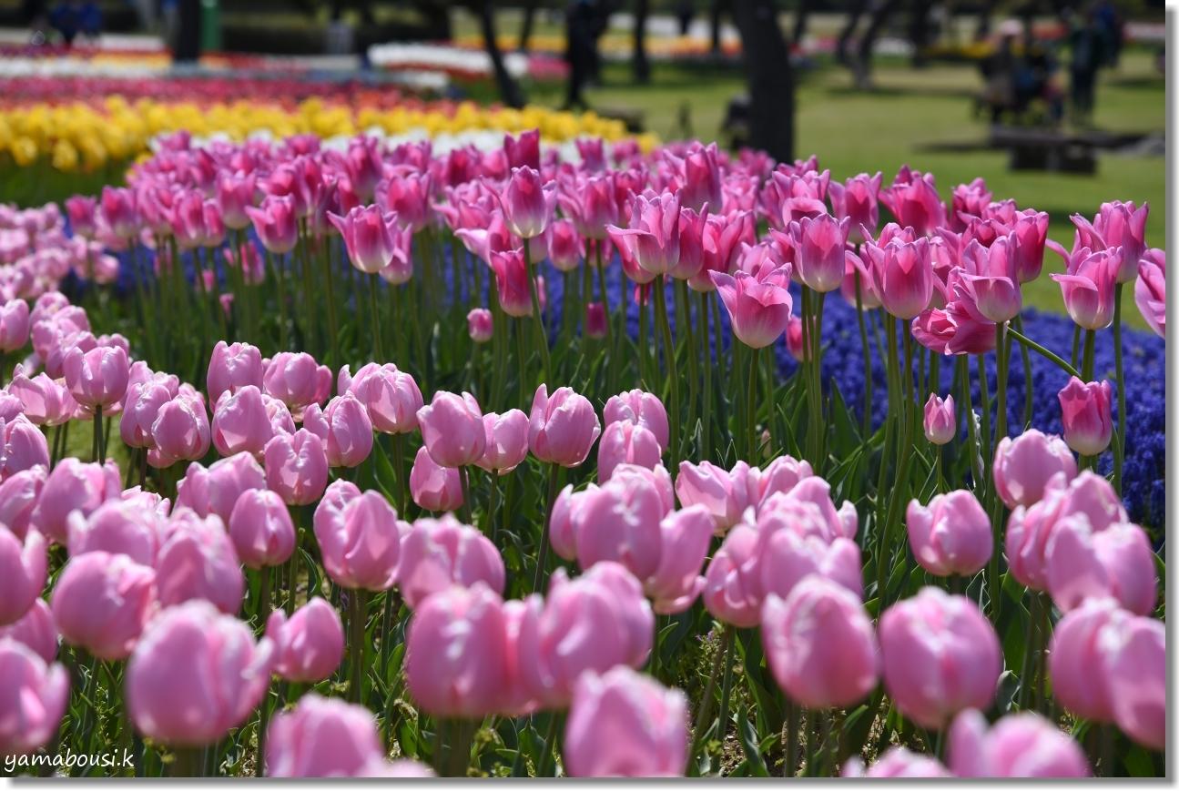 チューリップと春の風 1