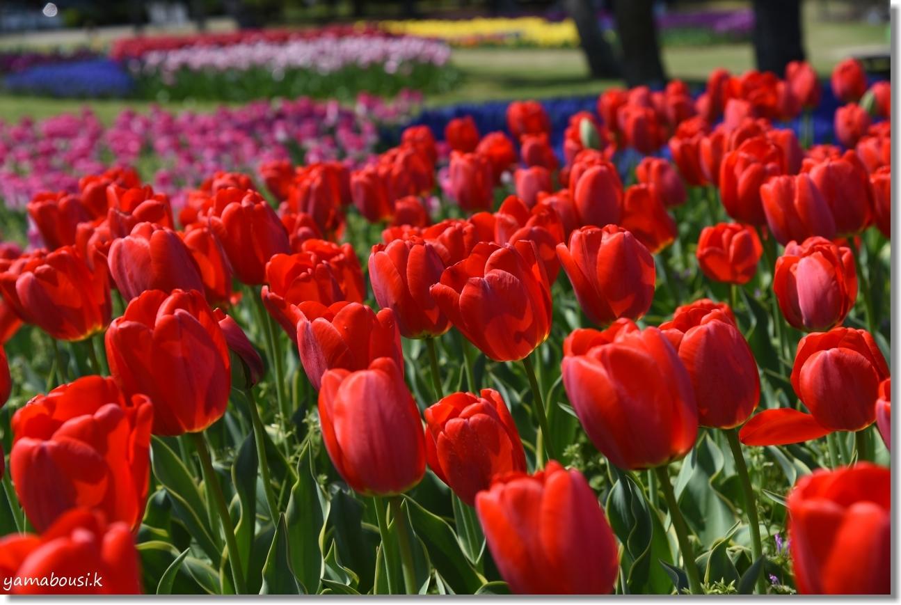 チューリップと春の風 3