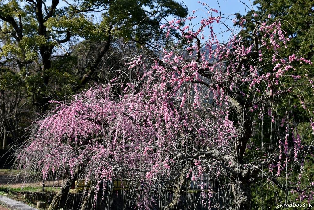 花畑園芸公園 枝垂れ梅 4