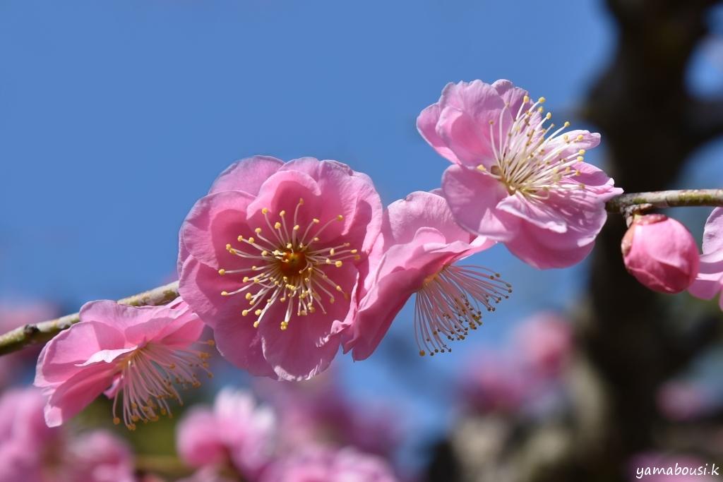 花畑園芸公園 枝垂れ梅 3