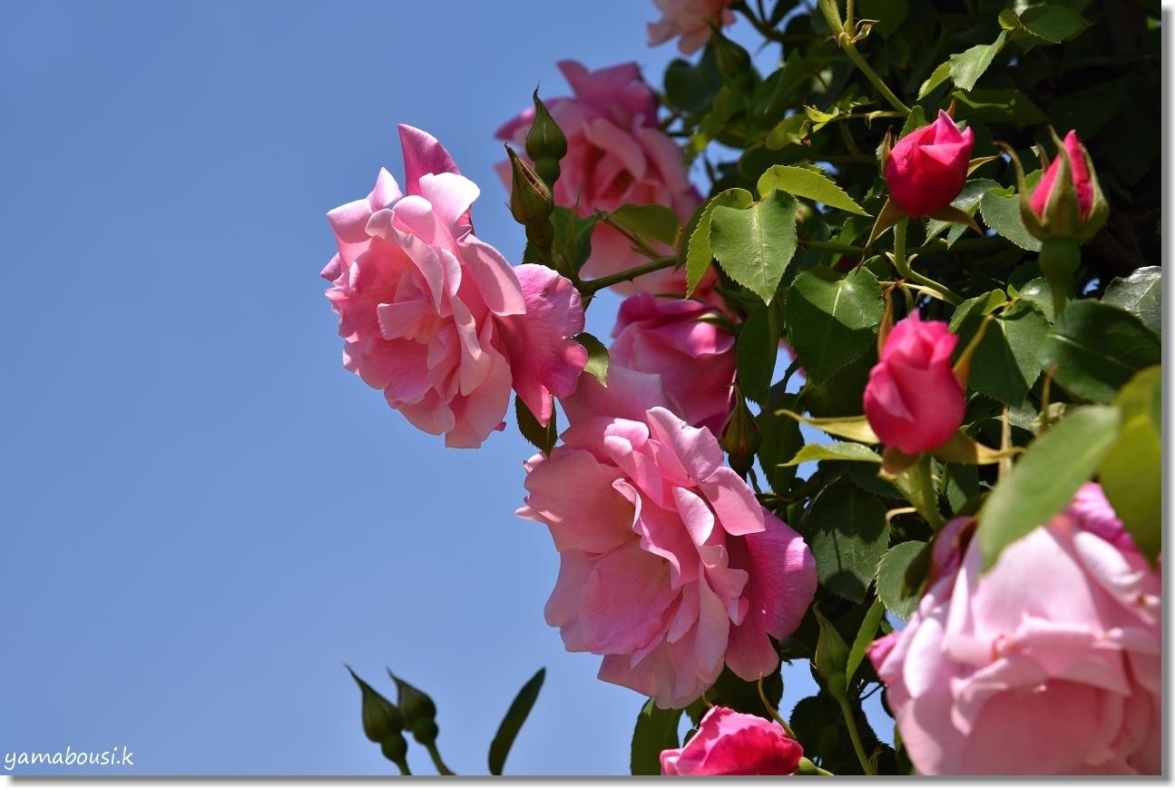 うみなか 春バラ 2
