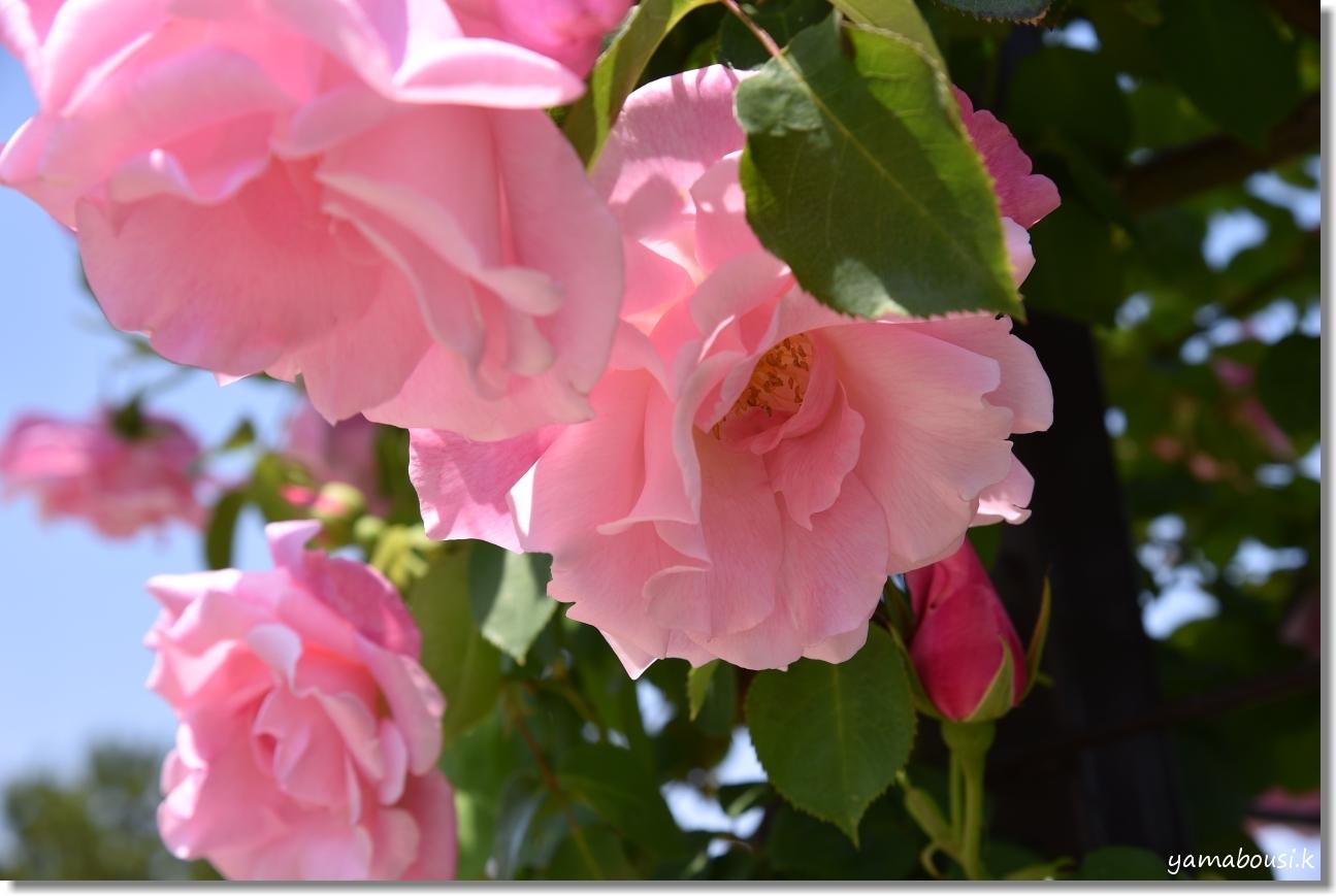 うみなか 春バラ 3