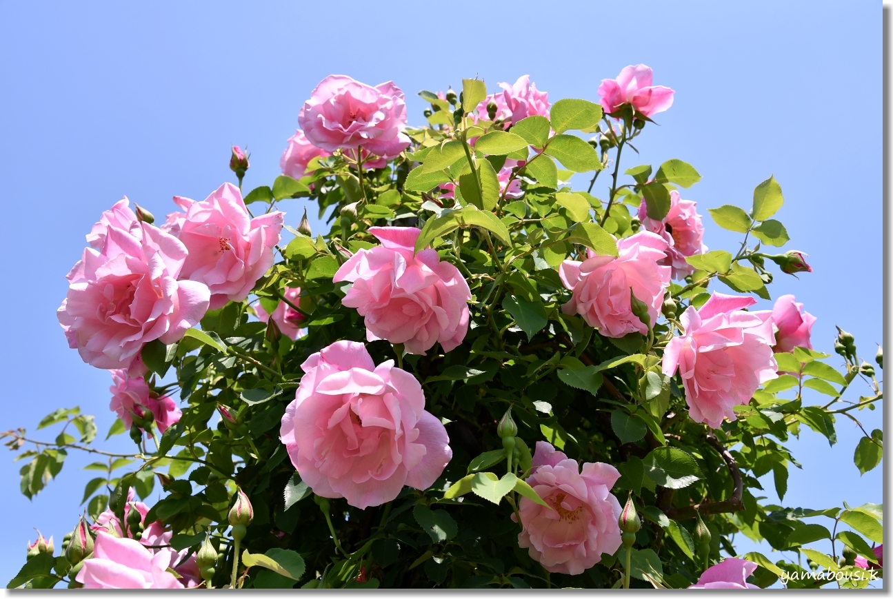 うみなか 春バラ 1