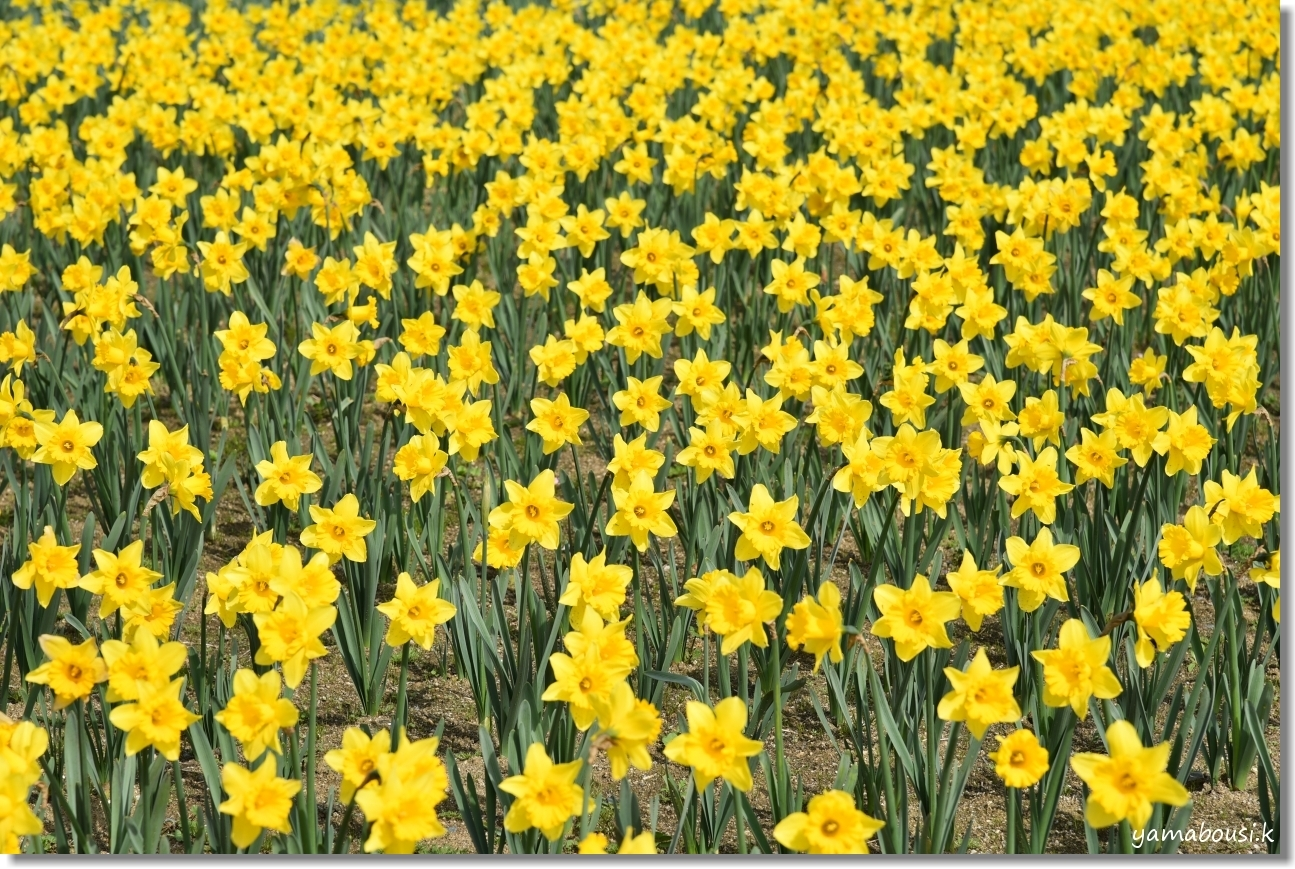 うみなか早春編 黄色い西洋スイセン b
