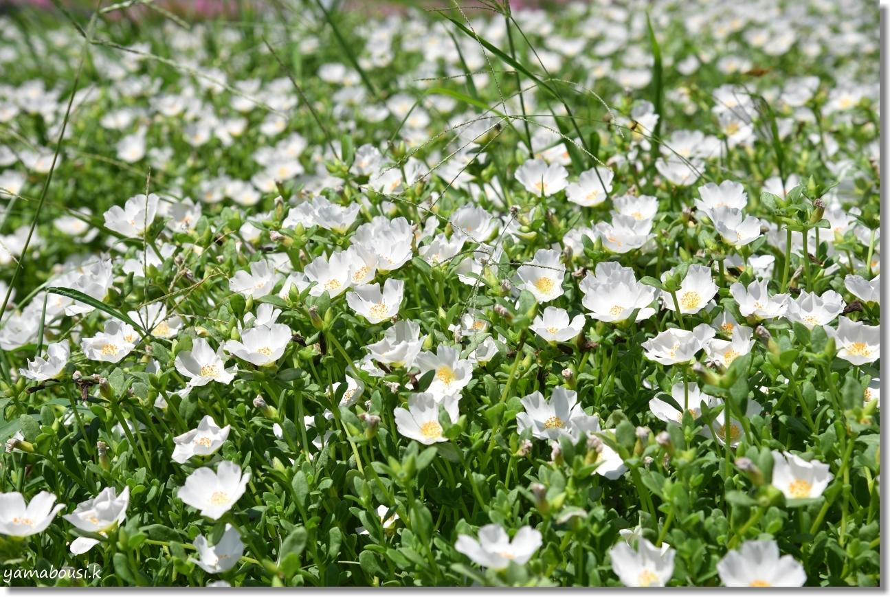 うみなか 夏の花 ポーチュラカ 3