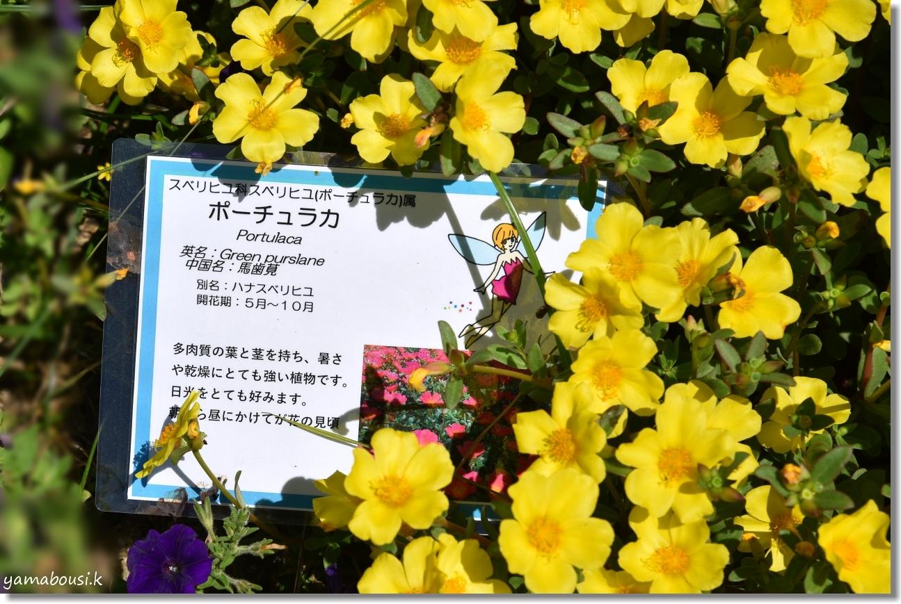 うみなか 夏の花 ポーチュラカ 4