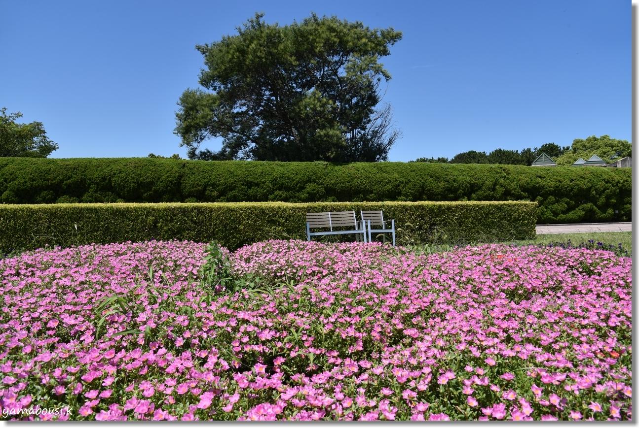 うみなか 夏の花 ポーチュラカ 6