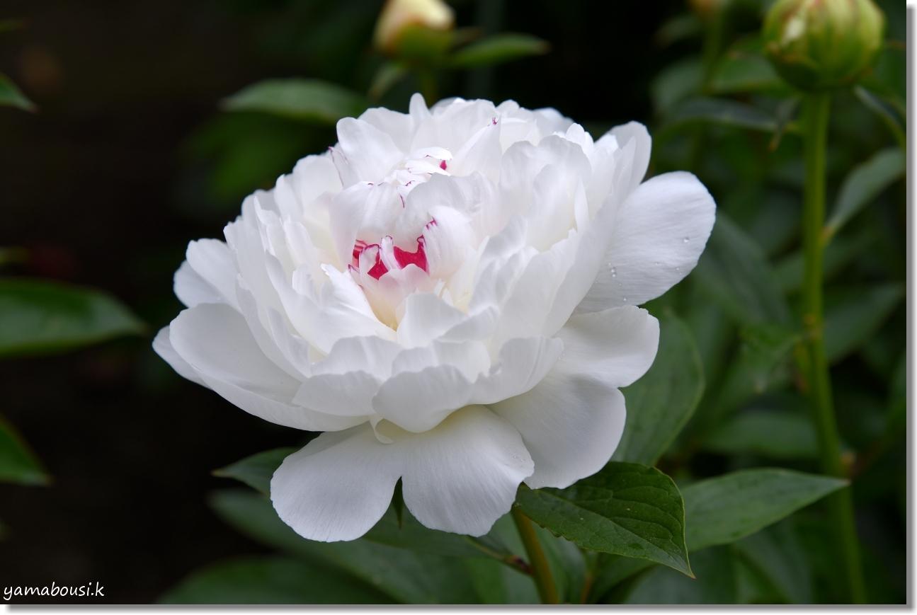 舞鶴公園 牡丹芍薬園 15