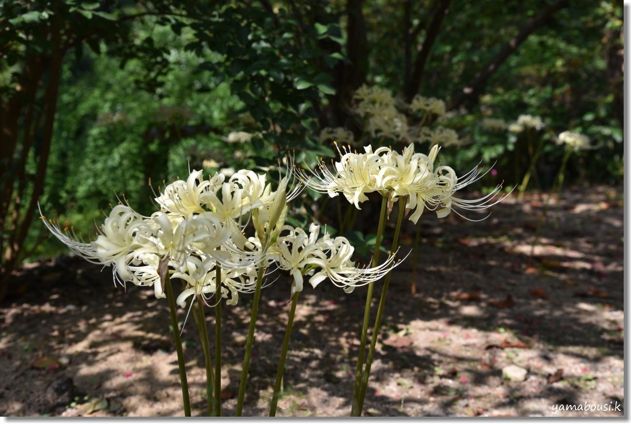 白野江植物公園(2019)初秋に咲く白い彼岸花 3
