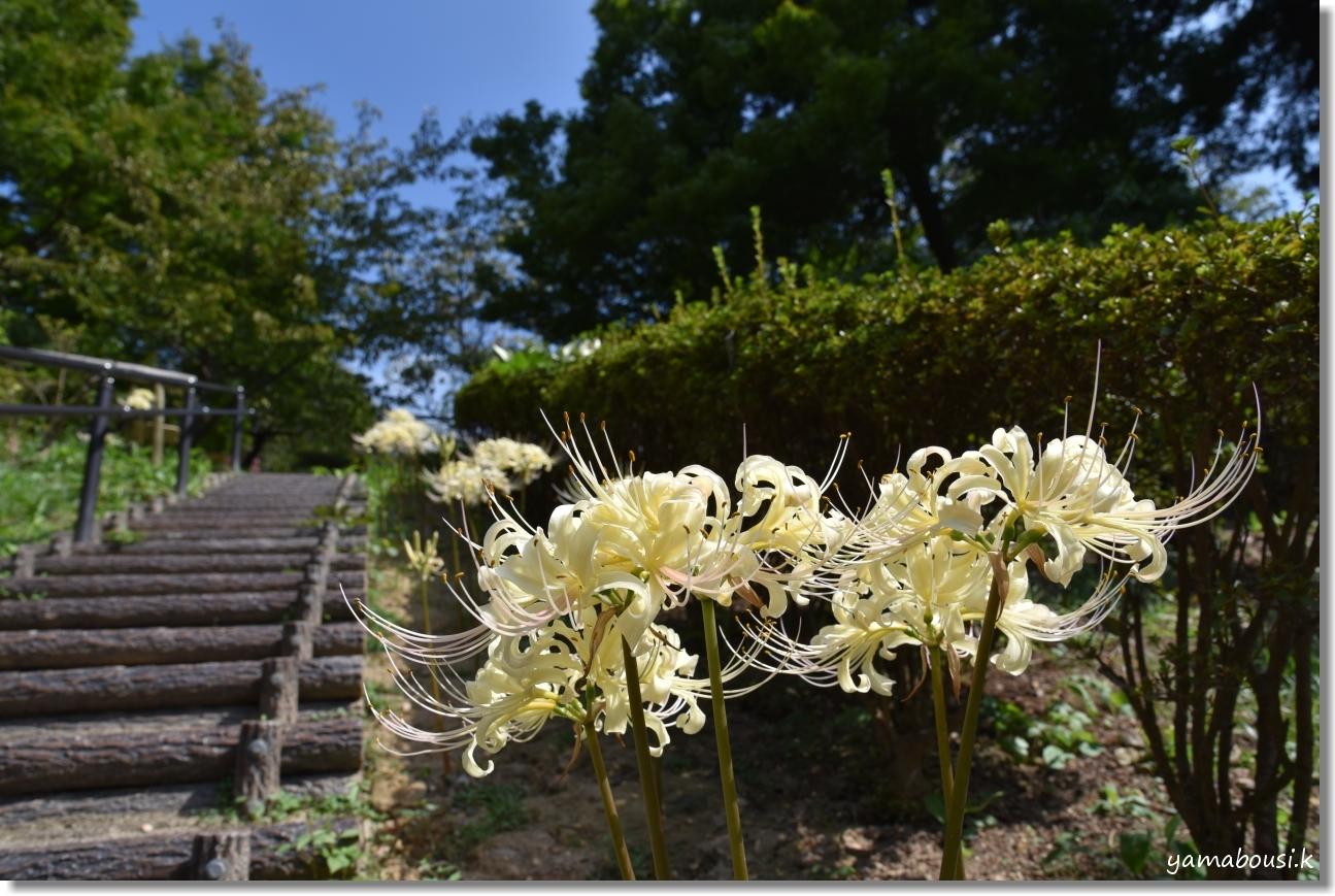 白野江植物公園(2019)初秋に咲く白い彼岸花 5