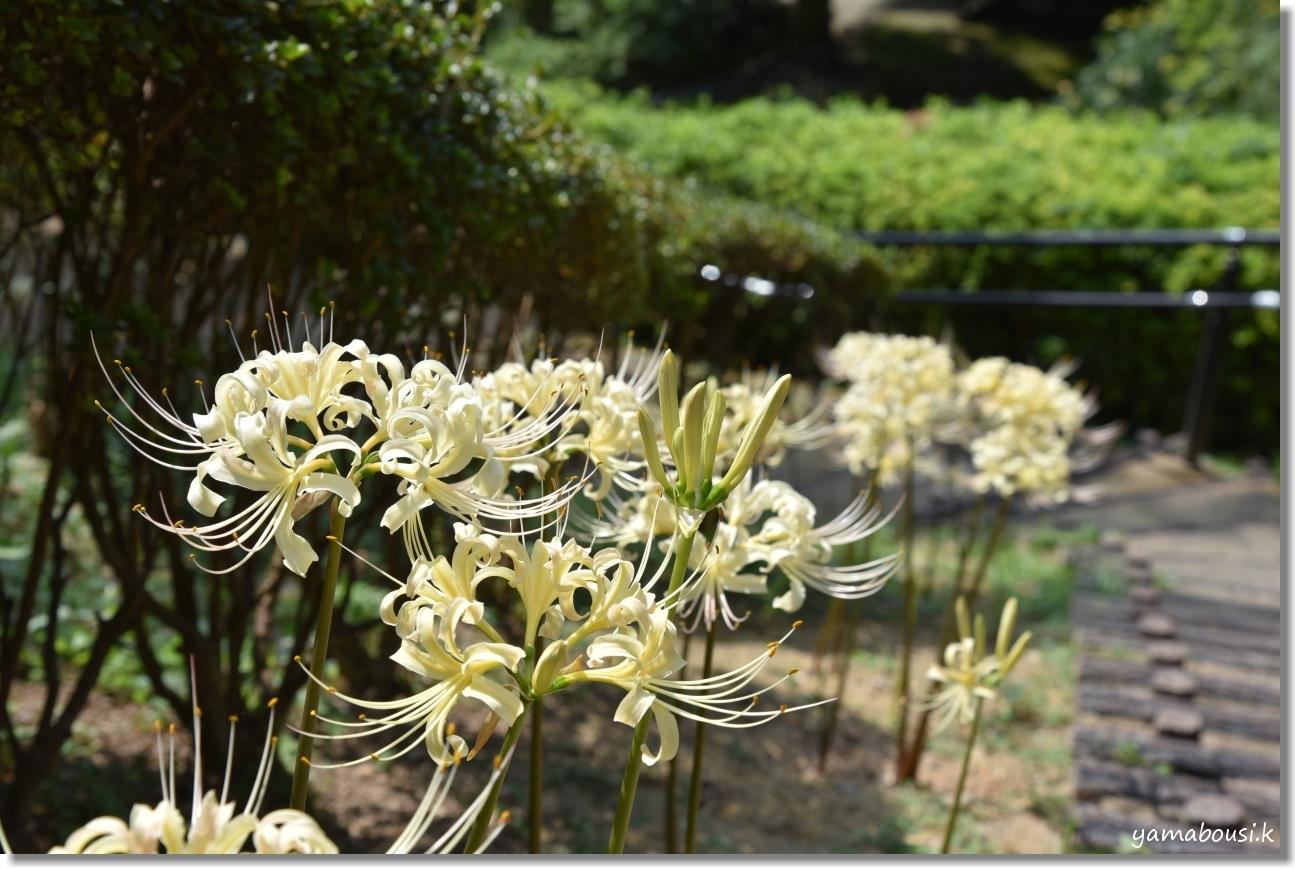 白野江植物公園(2019)初秋に咲く白い彼岸花 1