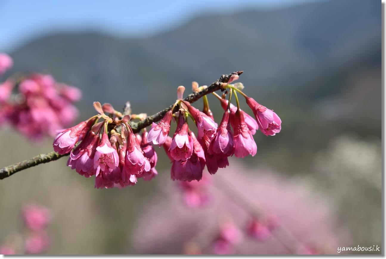 福智山ろく花公園 早春の候 2
