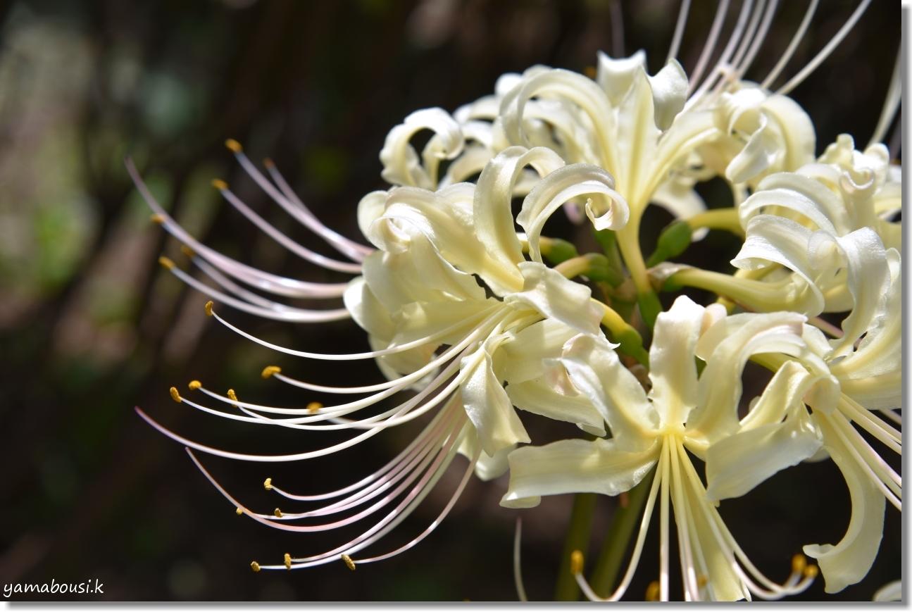 白野江植物公園(2019)初秋に咲く白い彼岸花 2