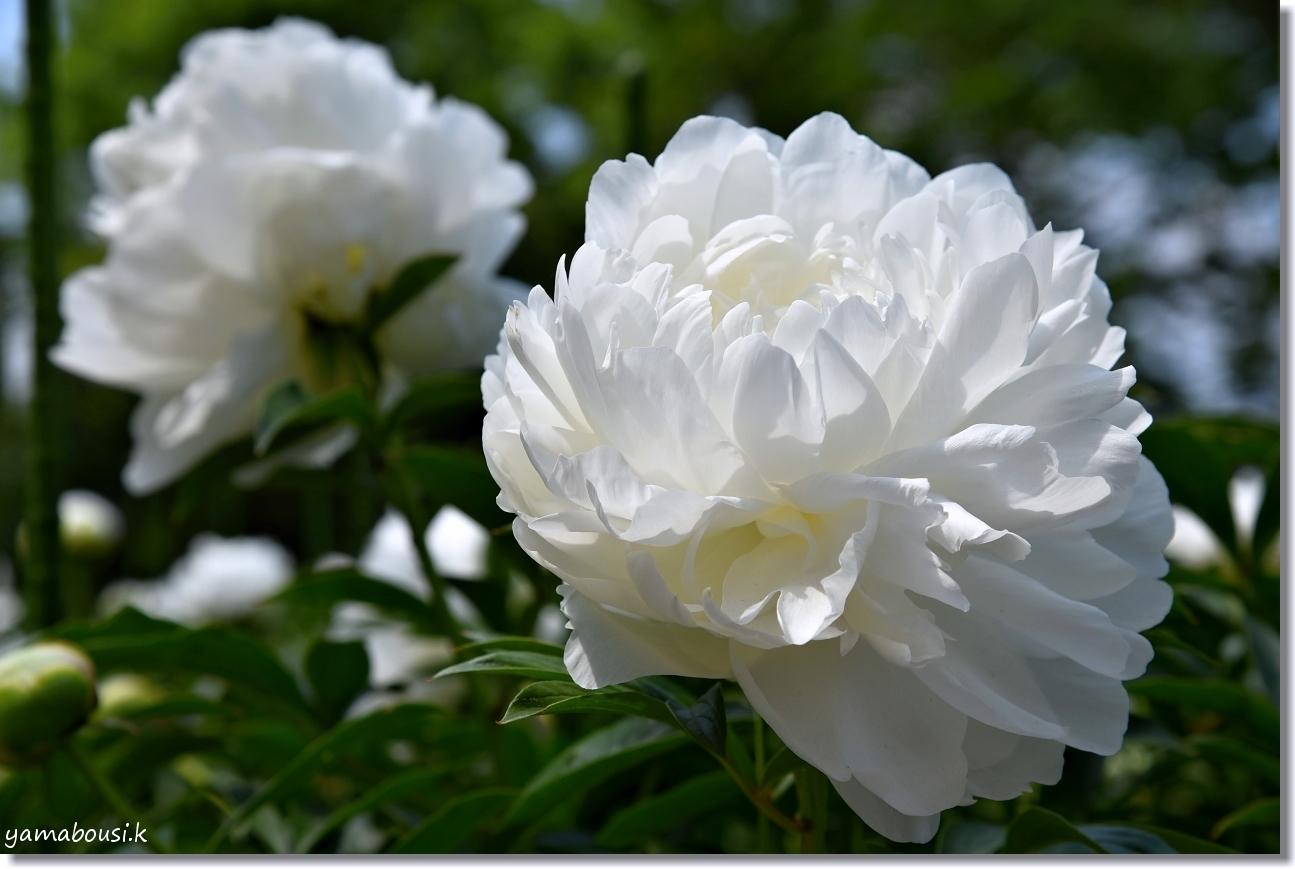 舞鶴公園 牡丹芍薬園 9月