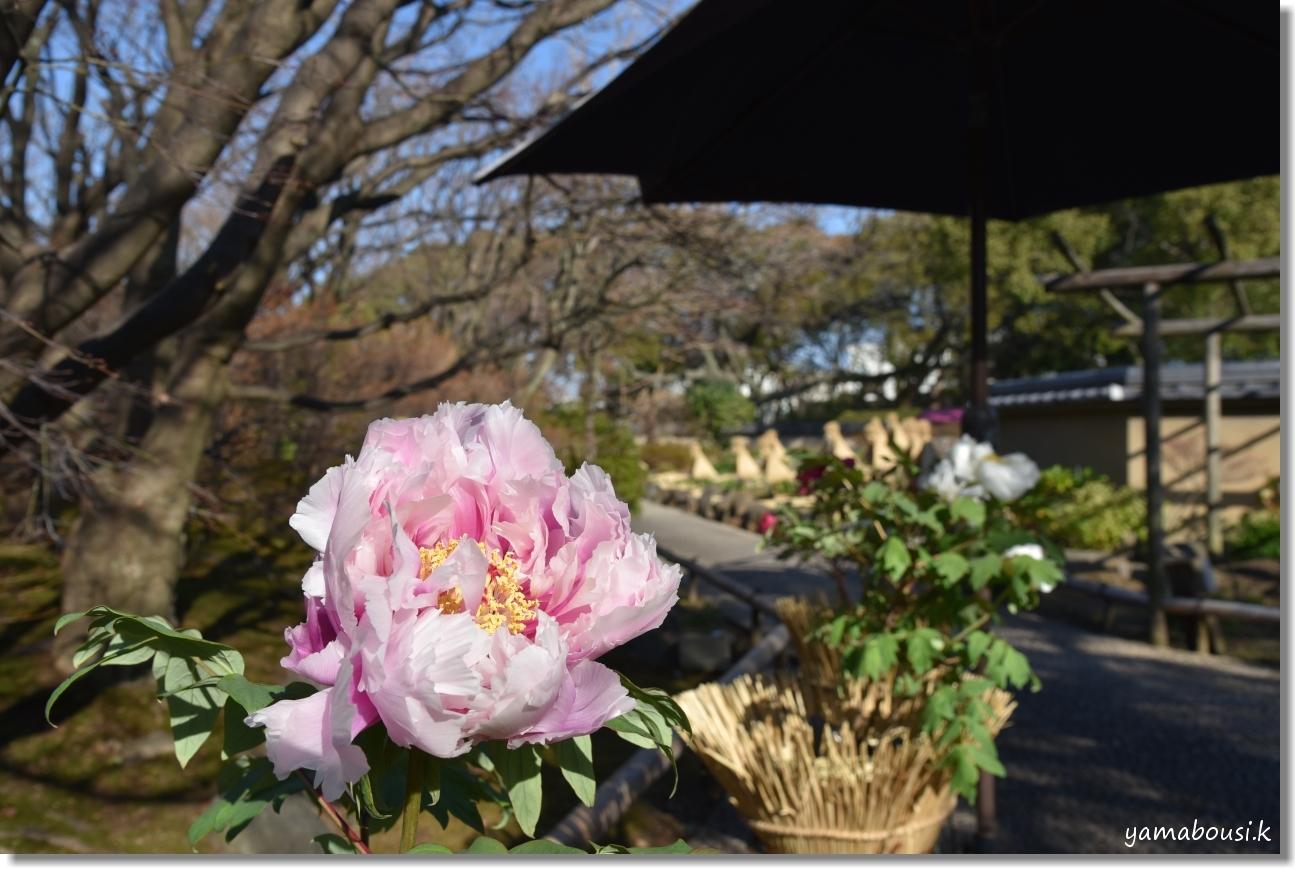 舞鶴公園 牡丹芍薬園 2