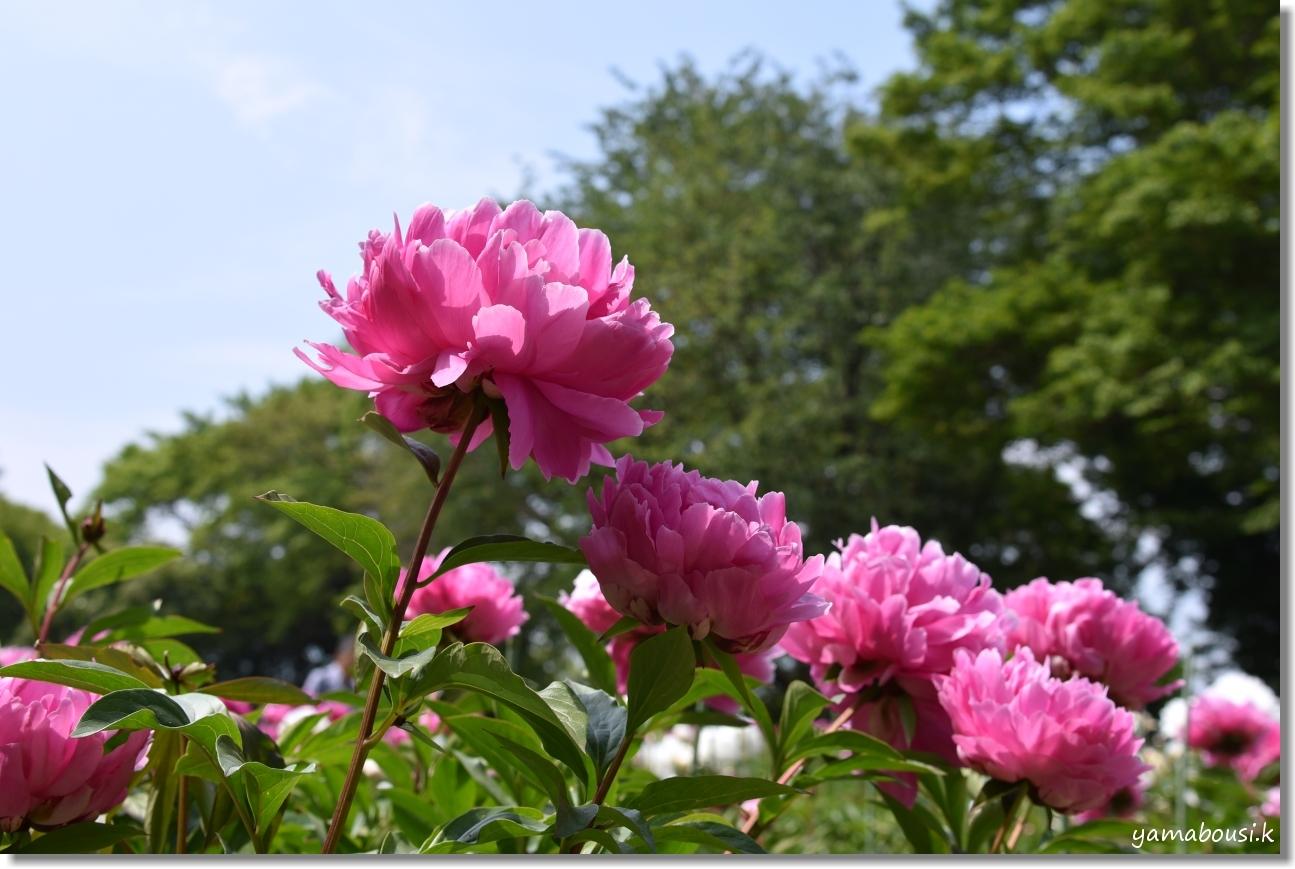 舞鶴公園 牡丹芍薬園 4