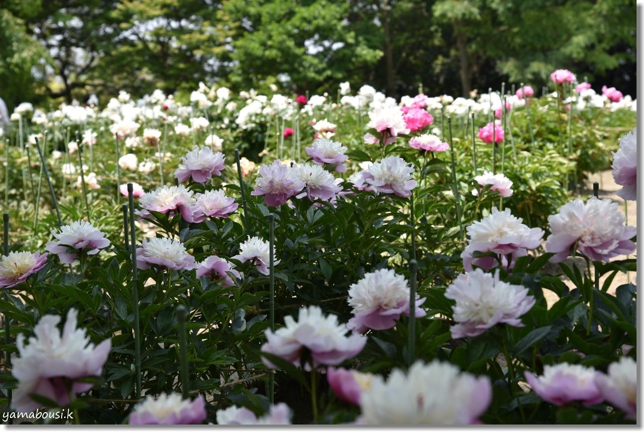 舞鶴公園 牡丹芍薬園 8