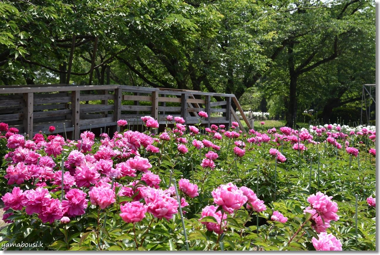 舞鶴公園 牡丹芍薬園 13