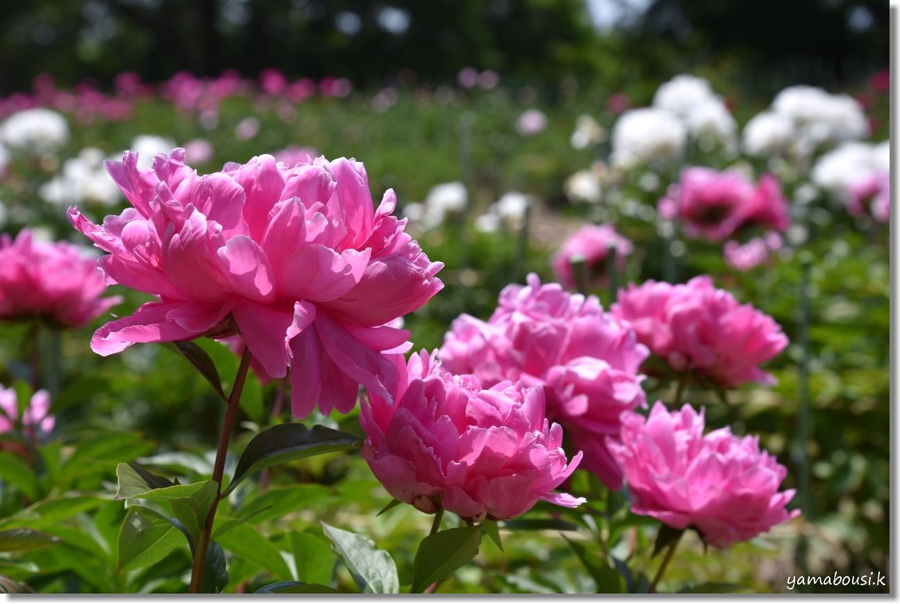 舞鶴公園 牡丹芍薬園 12
