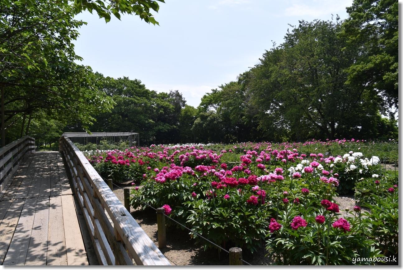 舞鶴公園 牡丹芍薬園 7