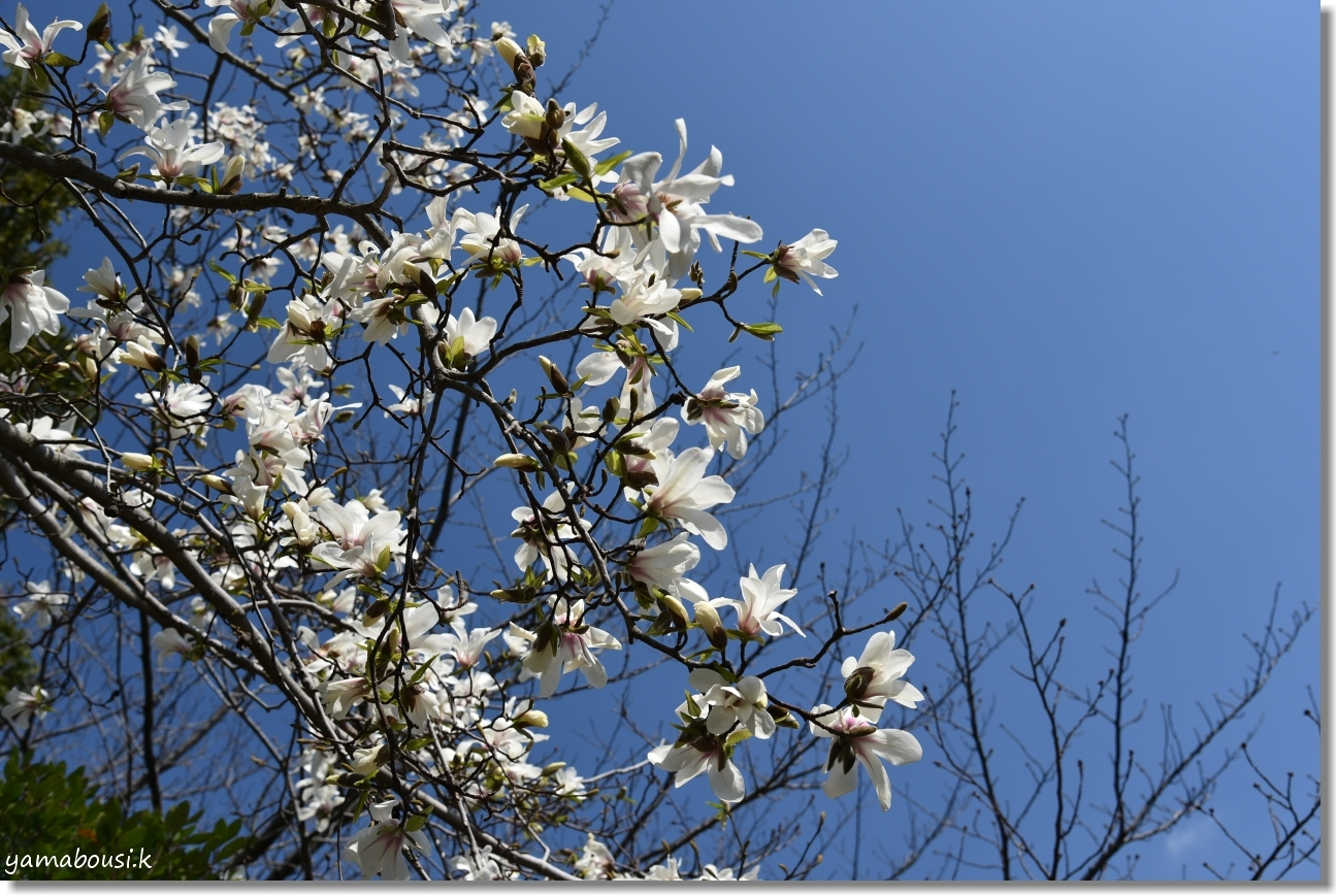 駕与丁公園の春 純白のコブシ 1