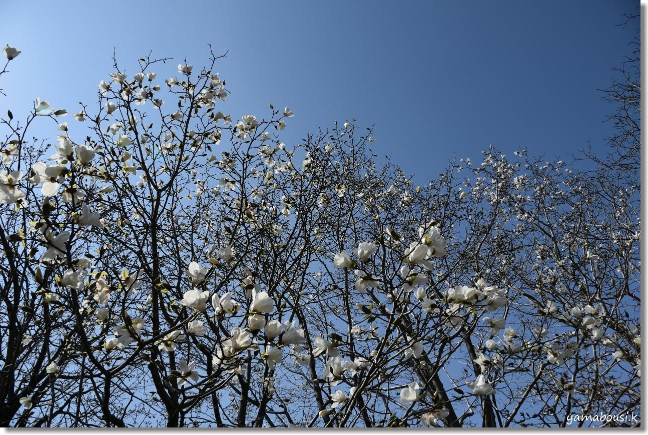 駕与丁公園の春 純白のコブシ 2