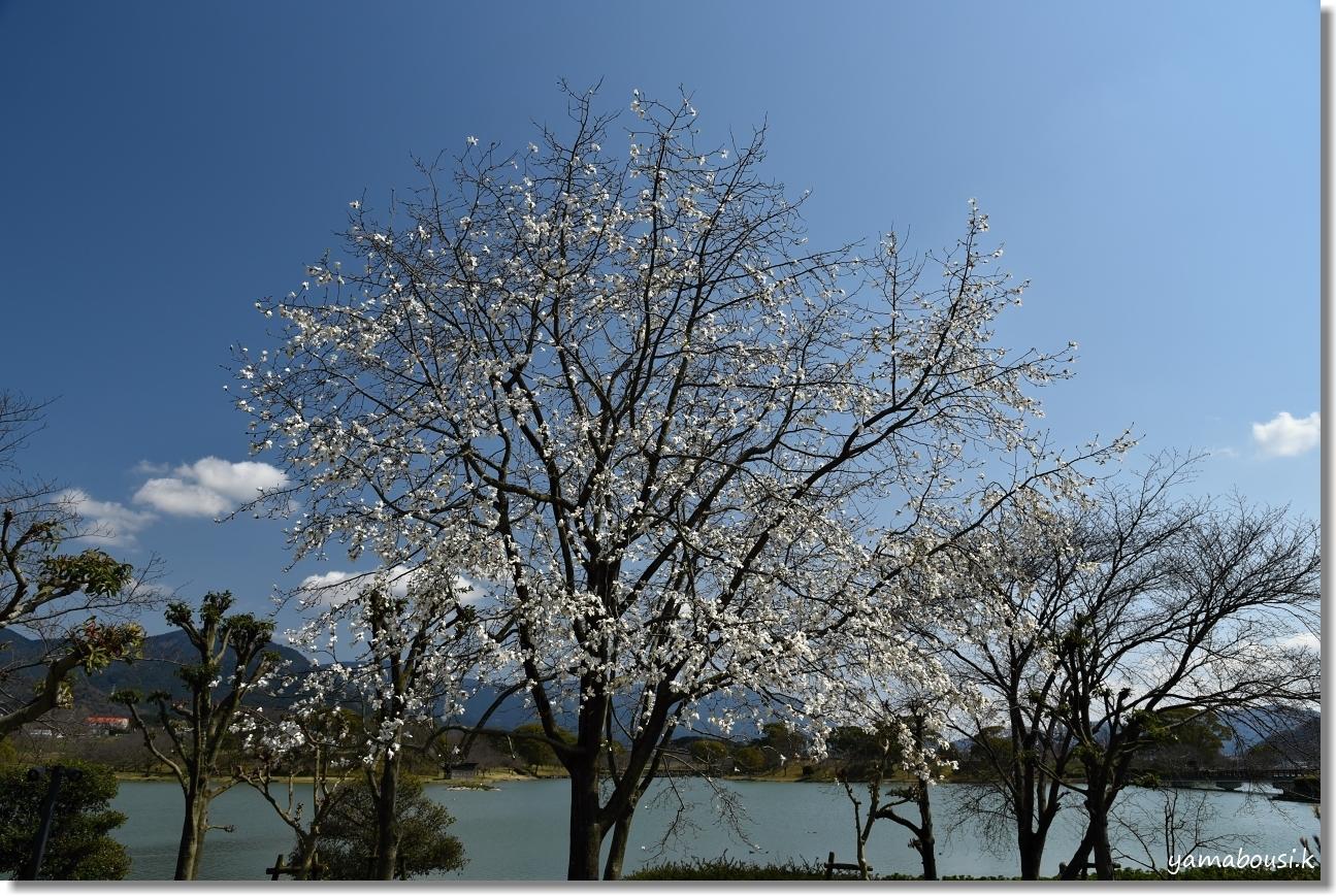 駕与丁公園の春 純白のコブシ 3