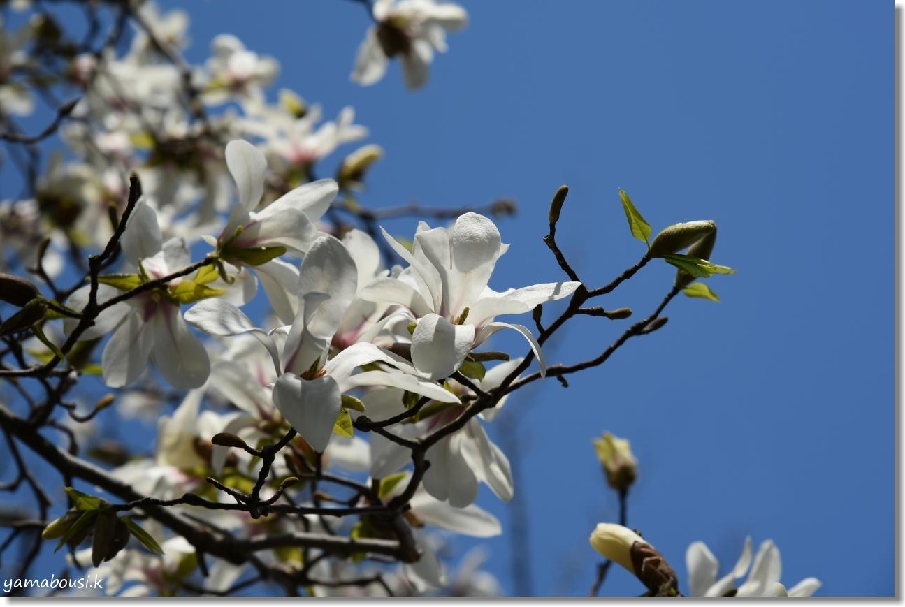 駕与丁公園の春 純白のコブシ 4