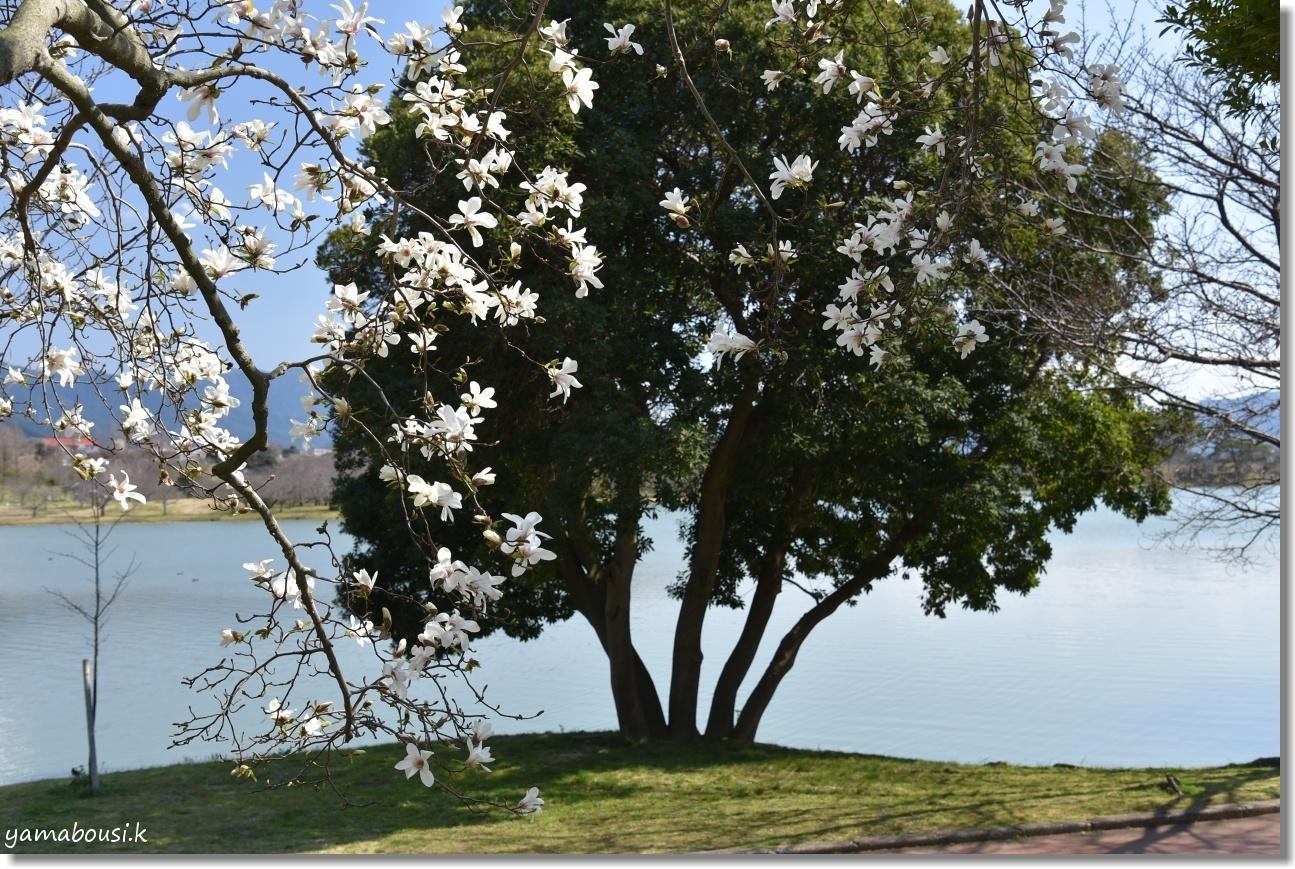 駕与丁公園の春 純白のコブシ 5
