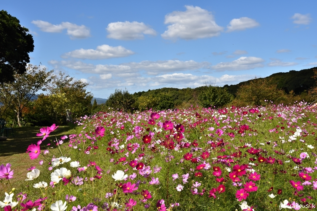 福智山ろく花公園 秋桜 DSC_4985