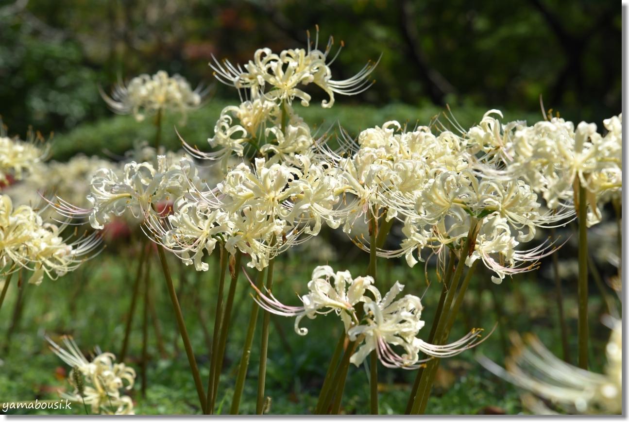 白い彼岸花満開 白野江植物公園 16