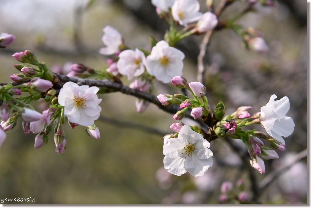 駕与丁公園 桜(ソメイヨシノ)の開花