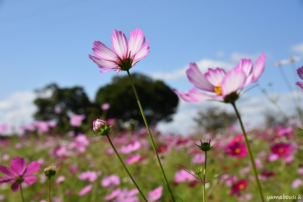 福智山ろく花公園 秋桜 DSC_5086