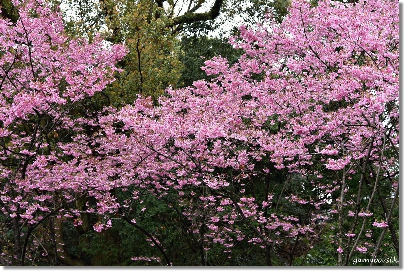 西公園の桜 1