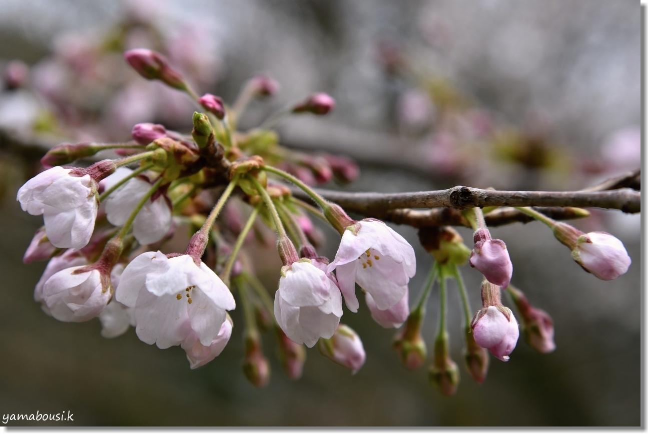 西公園の桜 3