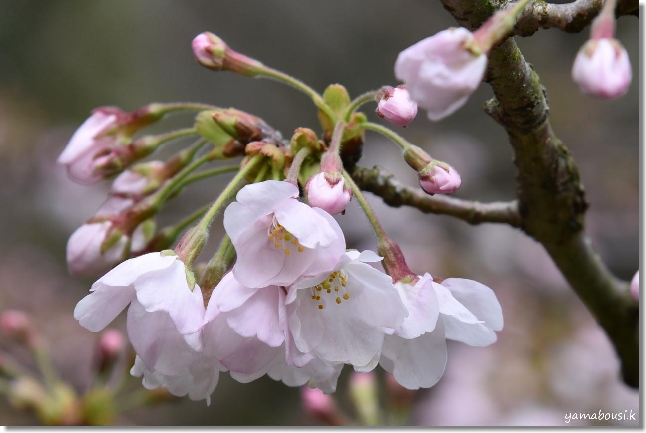 西公園の桜 4