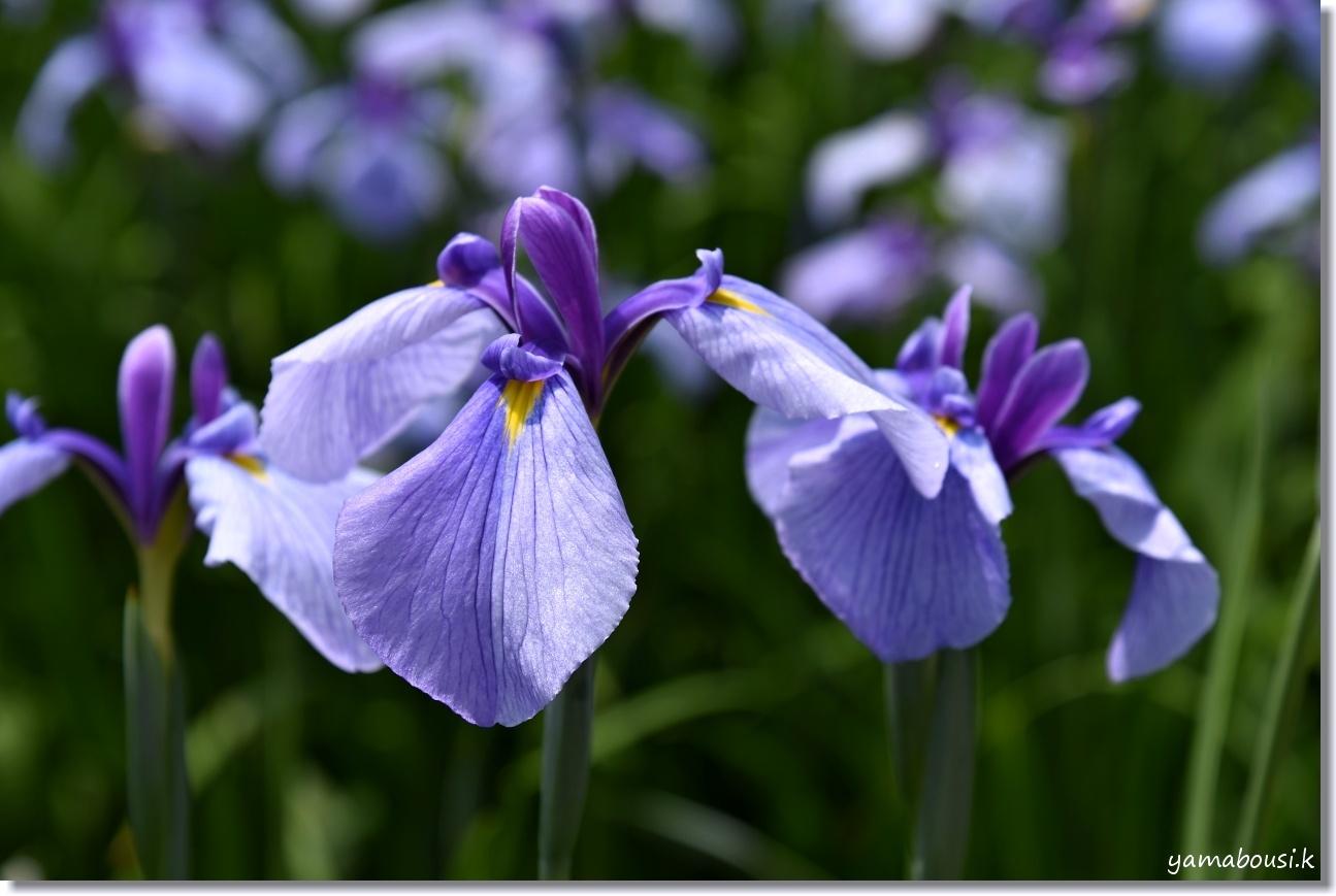 宮地嶽神社 花菖蒲 薄紫の花 2