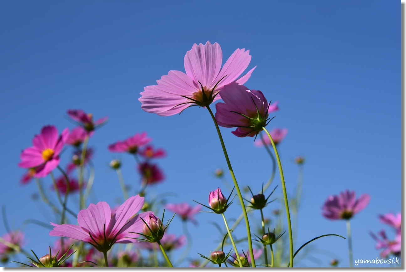 秋の青空とコスモスの咲き始め 3
