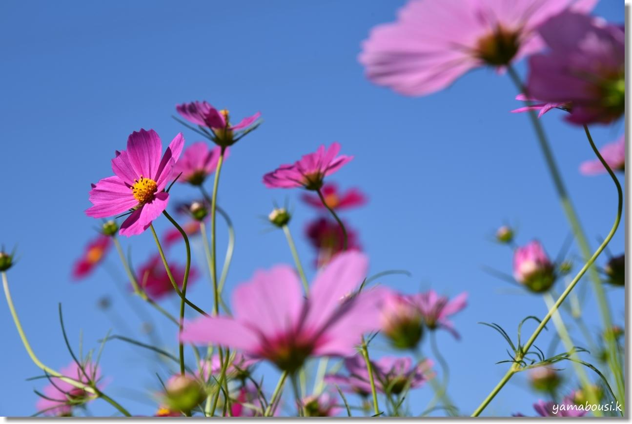 秋桜(コスモス)は秋の風物詩 2